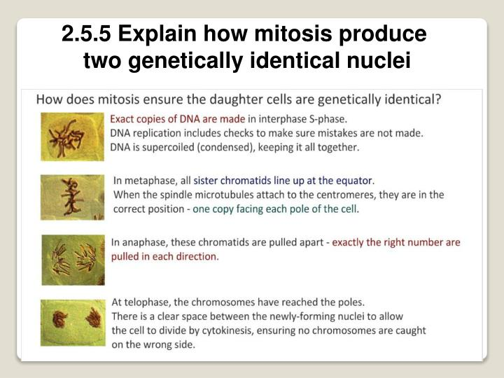 2.5.5 Explain how mitosis produce