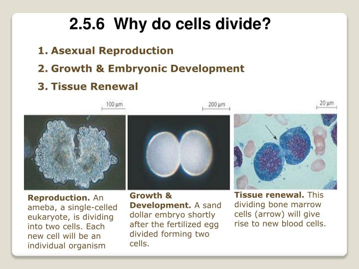 2.5.6  Why do cells divide?