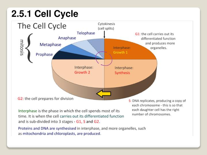 2.5.1 Cell Cycle