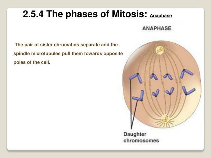 2.5.4 The phases of Mitosis: