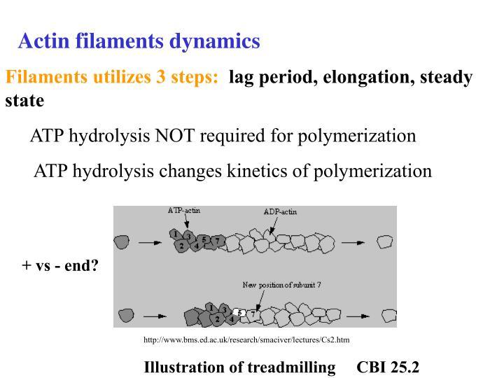 Actin filaments dynamics