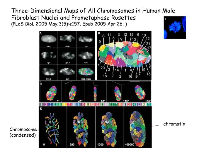 Three-Dimensional Maps of All Chromosomes in Human Male Fibroblast Nuclei and Prometaphase Rosettes