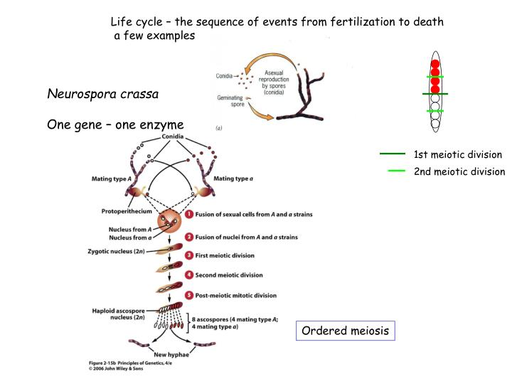 Life cycle – the sequence of events from fertilization to death