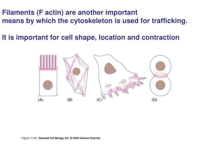 Filaments (F actin) are another important