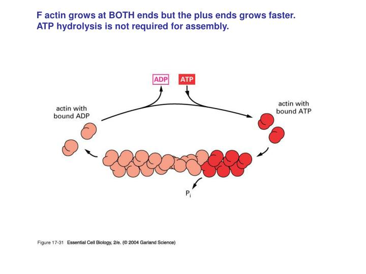 F actin grows at BOTH ends but the plus ends grows faster.