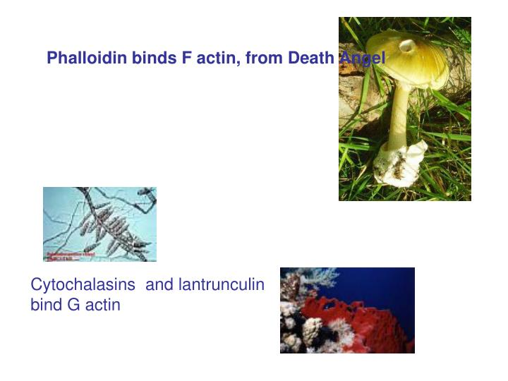 Phalloidin binds F actin, from Death Angel