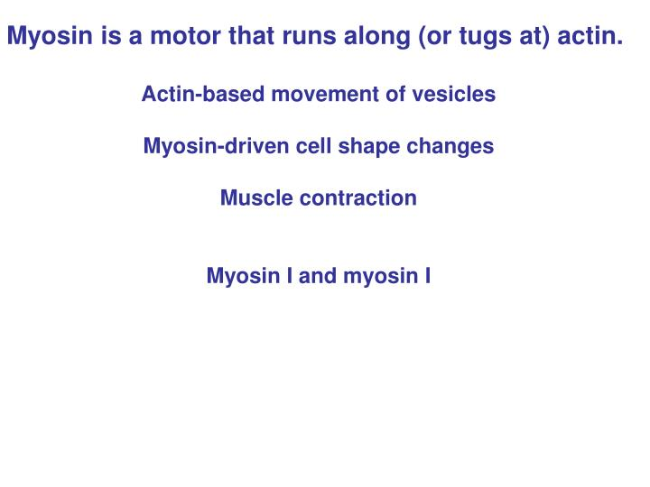 Myosin is a motor that runs along (or tugs at) actin.