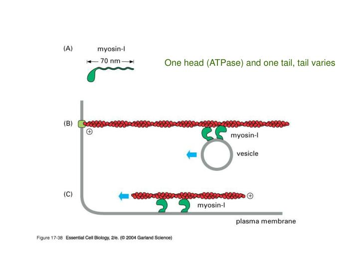 One head (ATPase) and one tail, tail varies
