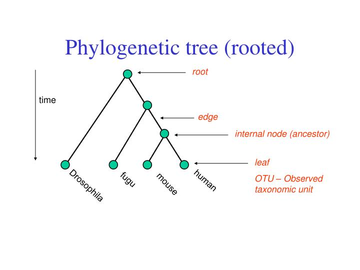 Phylogenetic tree (rooted)