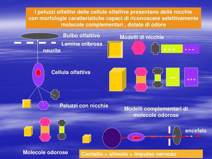 I peluzzi olfattivi delle cellule olfattive presentano delle nicchie