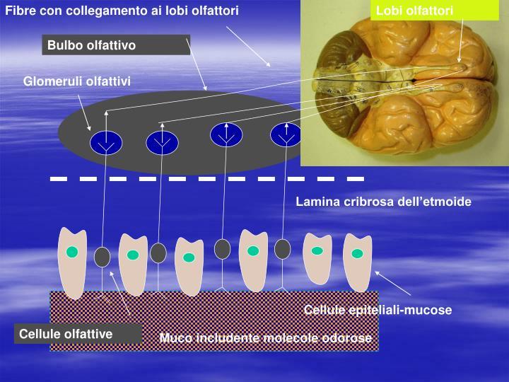 Fibre con collegamento ai lobi olfattori