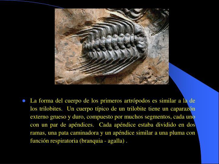 La forma del cuerpo de los primeros artrópodos es similar a la de los trilobites.  Un cuerpo típico de un trilobite tiene un caparazón externo grueso y duro, compuesto por muchos segmentos, cada uno con un par de apéndices.  Cada apéndice estaba dividido en dos ramas, una pata caminadora y un apéndice similar a una pluma con función respiratoria (branquia - agalla) .