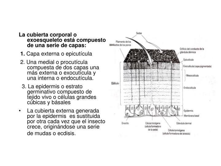 La cubierta corporal o exoesqueleto está compuesto de una serie de capas: