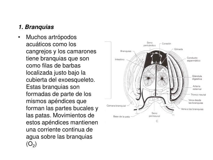 1. Branquias