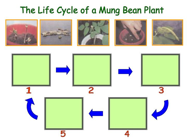 The Life Cycle of a Mung Bean Plant