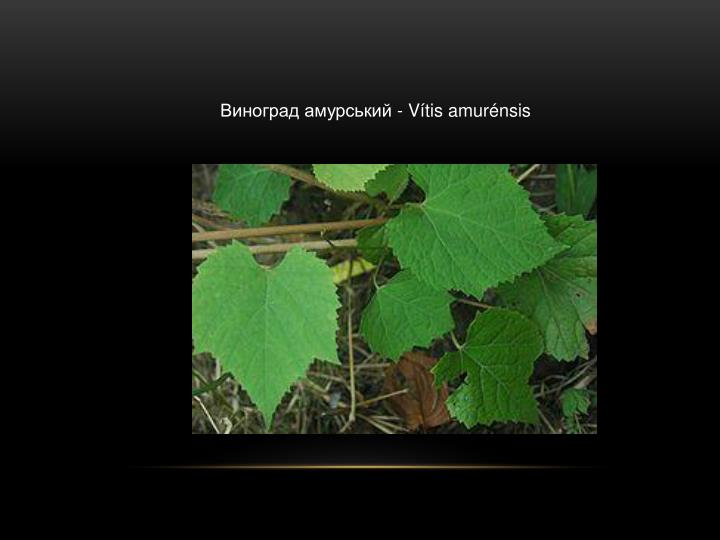 Виноград амурський -