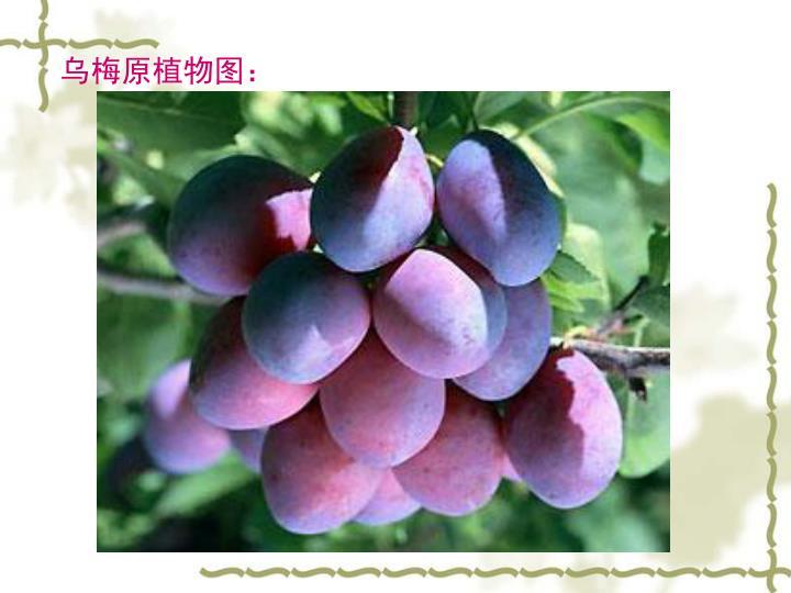 乌梅原植物图: