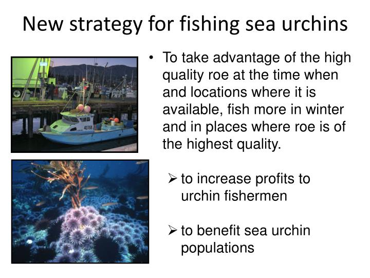 New strategy for fishing sea urchins