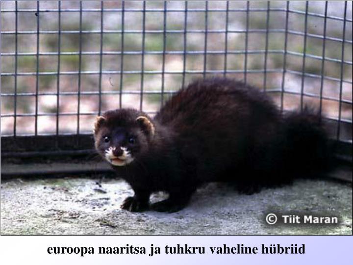 euroopa naaritsa ja tuhkru vaheline hübriid