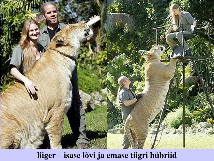liiger – isase lõvi ja emase tiigri hübriid