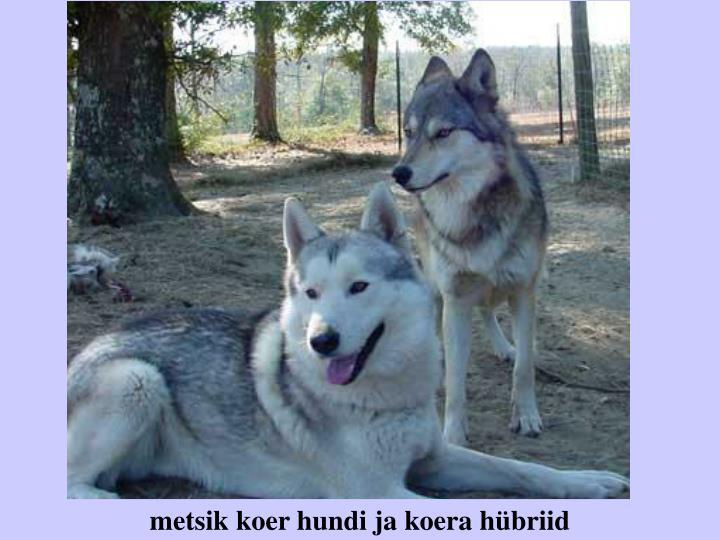 metsik koer hundi ja koera hübriid