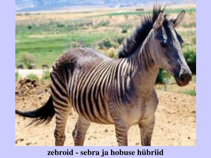 zebroid - sebra ja hobuse hübriid