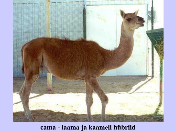 cama - laama ja kaameli hübriid