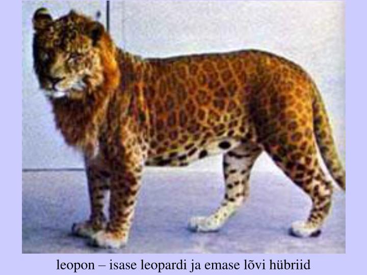 leopon – isase leopardi ja emase lõvi hübriid