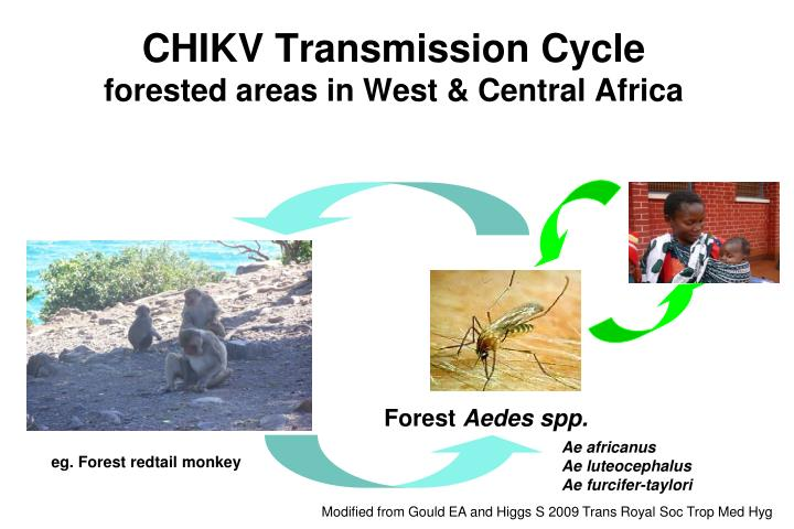 CHIKV Transmission Cycle
