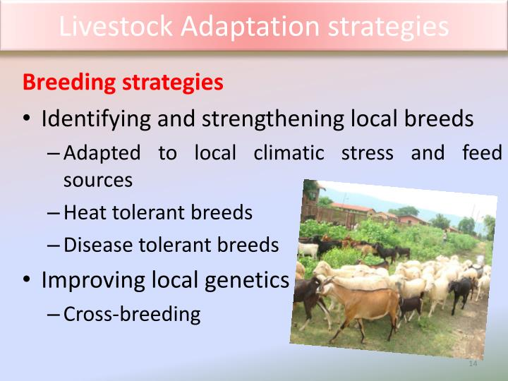 Livestock Adaptation strategies