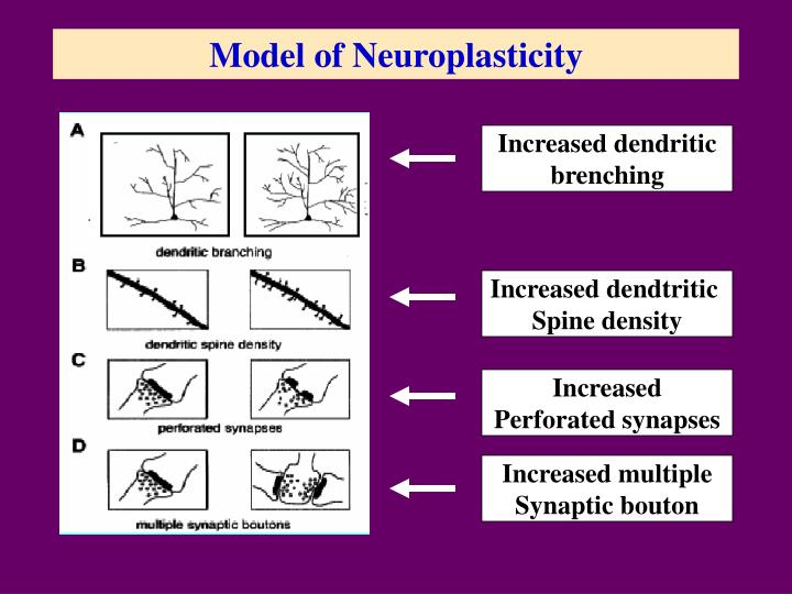 Model of Neuroplasticity