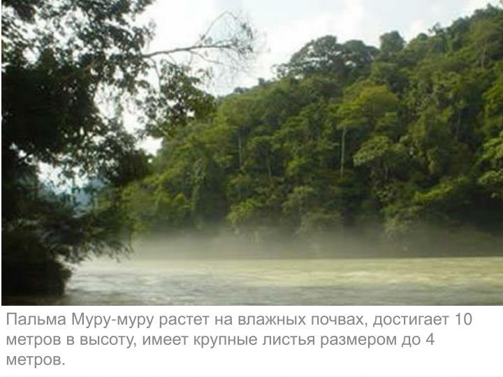 Пальма Муру-муру растет на влажных почвах, достигает 10 метров в высоту