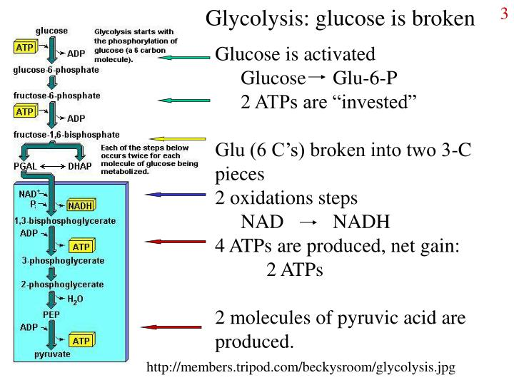 Glycolysis: glucose is broken