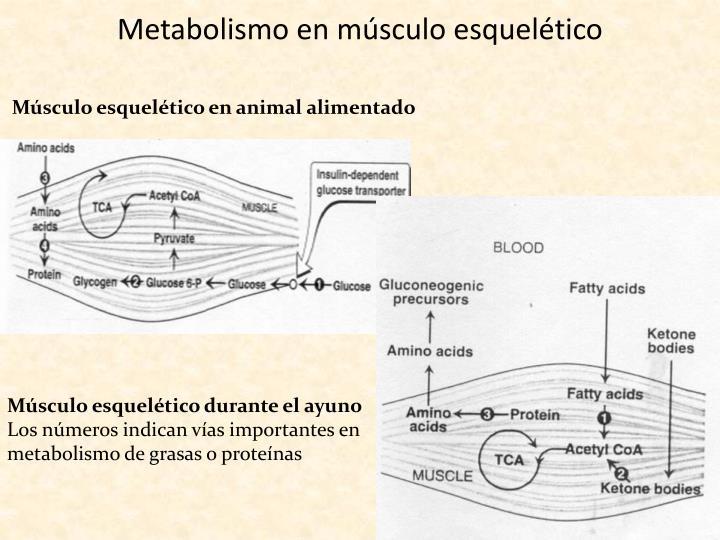 Metabolismo en músculo esquelético