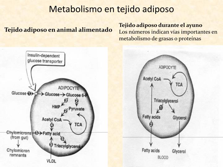 Metabolismo en tejido adiposo