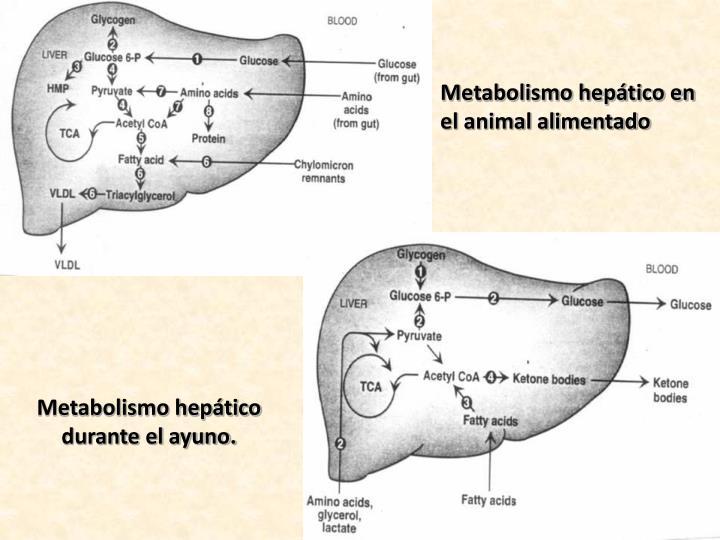 Metabolismo hepático en el animal alimentado