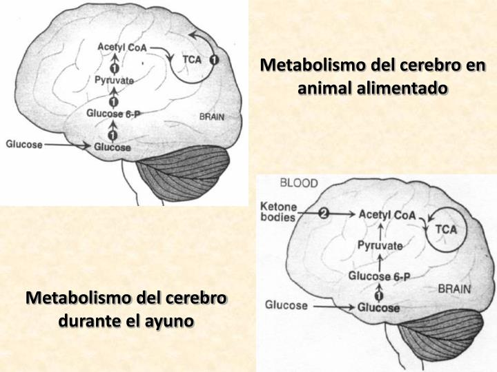 Metabolismo del cerebro en animal alimentado