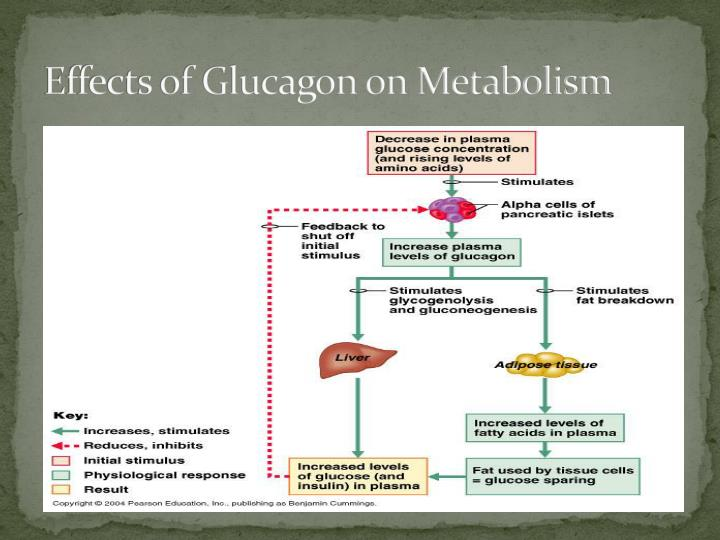 Effects of Glucagon on Metabolism