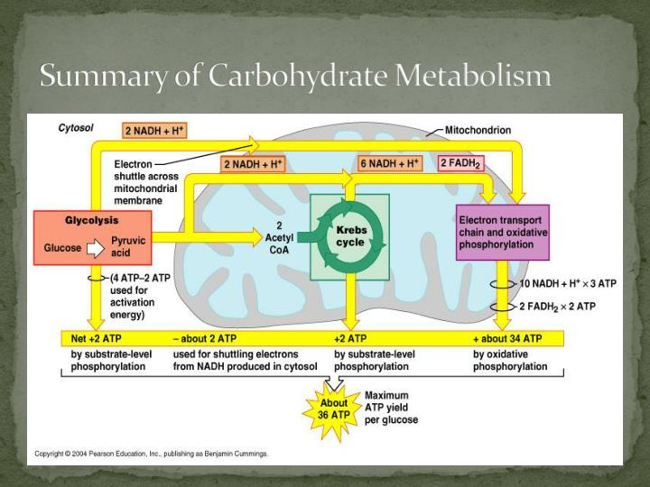 Summary of Carbohydrate Metabolism