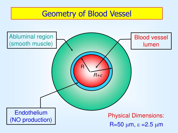 Abluminal region (smooth muscle)