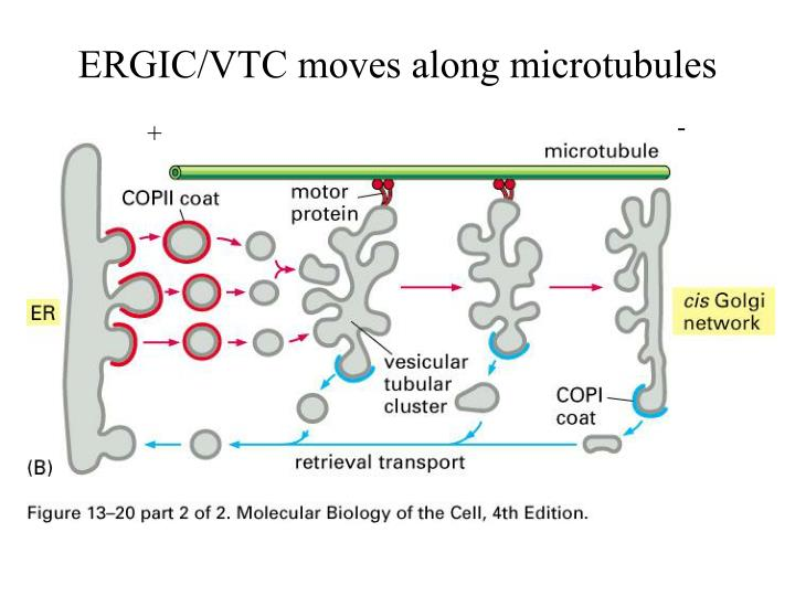 ERGIC/VTC moves along microtubules