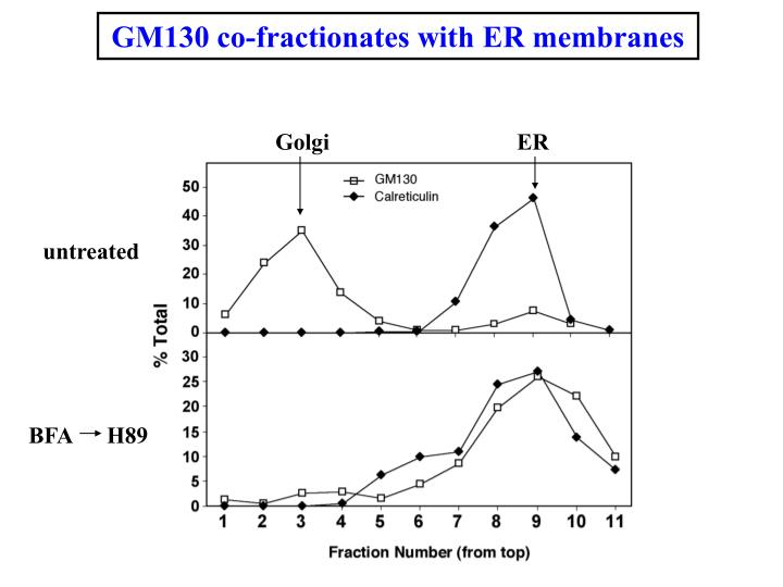 GM130 co-fractionates with ER membranes