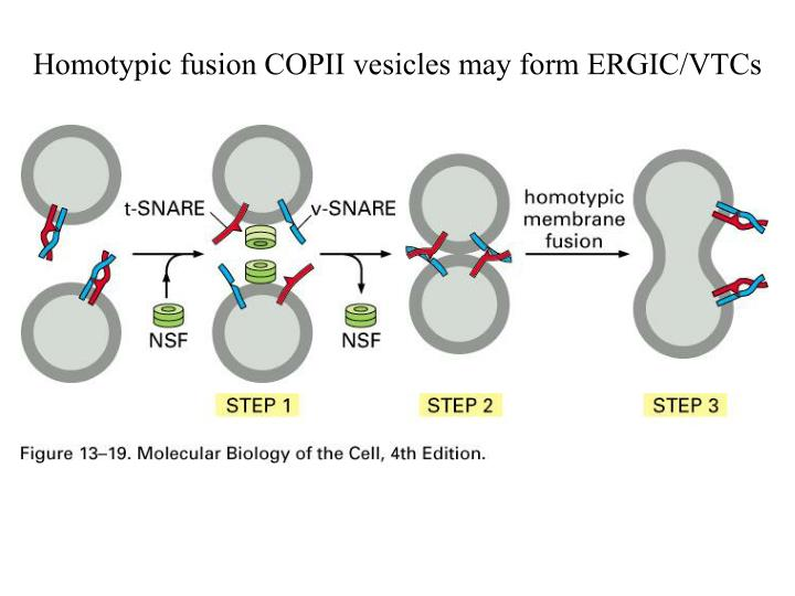 Homotypic fusion COPII vesicles may form ERGIC/VTCs