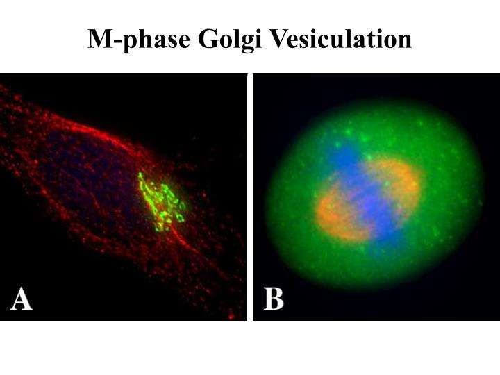 M-phase Golgi Vesiculation
