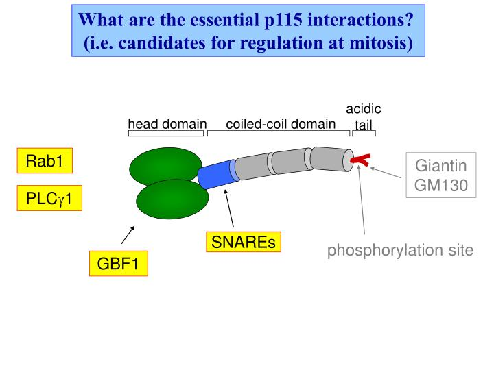 What are the essential p115 interactions?
