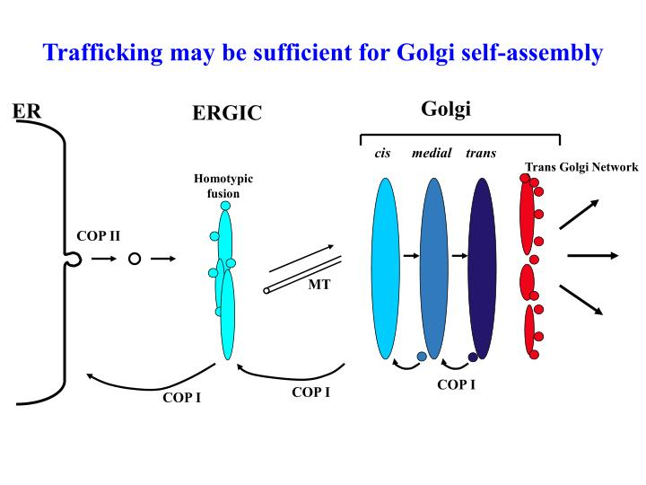 Trafficking may be sufficient for Golgi self-assembly