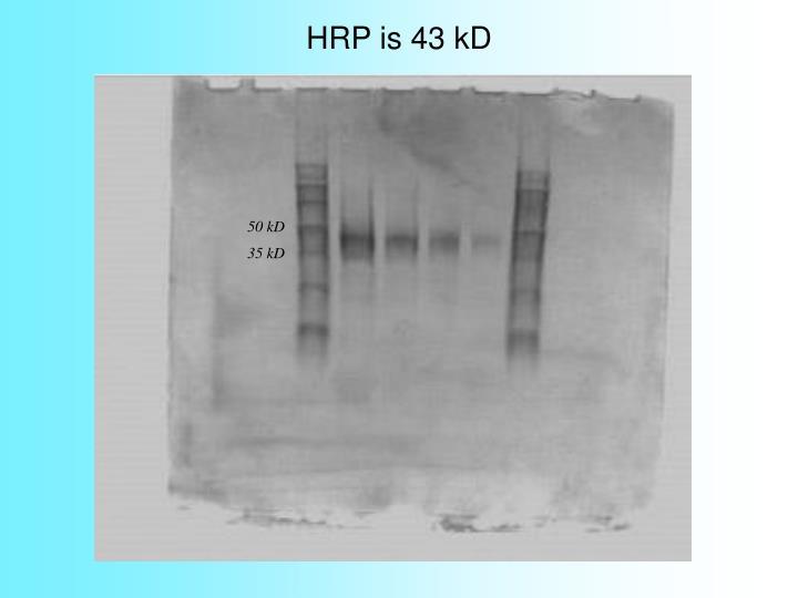 HRP is 43 kD