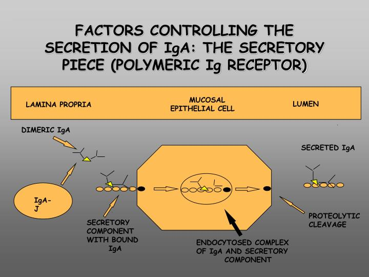 FACTORS CONTROLLING THE SECRETION OF IgA: THE SECRETORY PIECE (POLYMERIC Ig RECEPTOR)