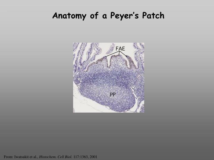 Anatomy of a Peyer's Patch