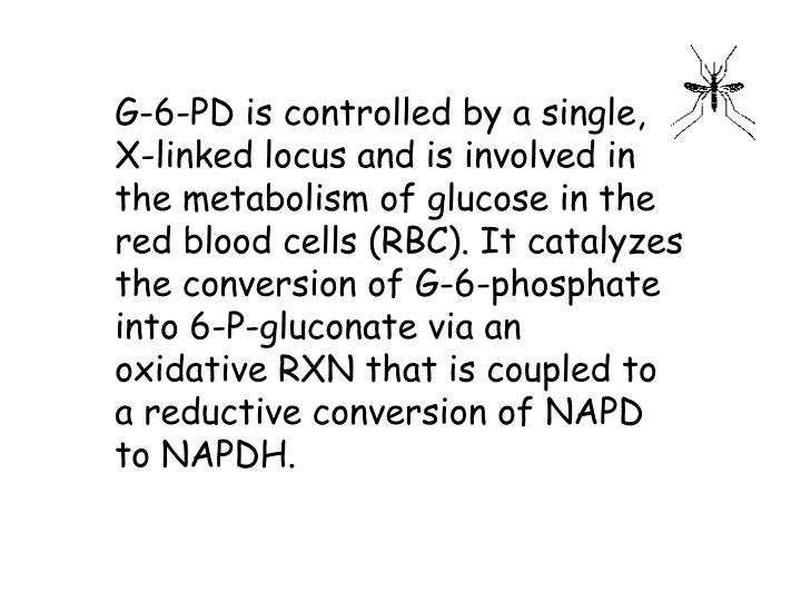 G-6-PD is controlled by a single, X-linked locus and is involved in the metabolism of glucose in the red blood cells (RBC). It catalyzes the conversion of G-6-phosphate into 6-P-gluconate via an oxidative RXN that is coupled to a reductive conversion of NAPD to NAPDH.